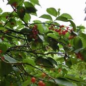 赤い実がたくさん