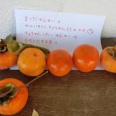 おいしそうな柿がとれました