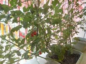 ミニトマトが赤くなりました。