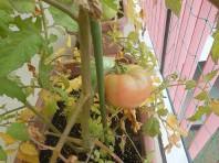トマトも色づいて来ました。