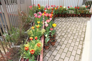 さくらぐみさんが去年植えたチューリップだよ。