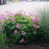 今日の茶花は園庭の花壇に咲いていたキョウカノコ草です。