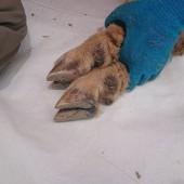 普段なかなか見られないメエちゃんの足の爪。