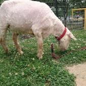 ブランコ傍の草をずっと食べてました。ほっそりメエちゃんを見てくださいね。