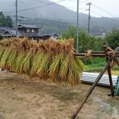 稲木も今ではめったに見ない光景ですが、わざわざ吊ってくださいました。