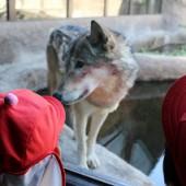 オオカミがこんなに近くに来てくれてビックリ!