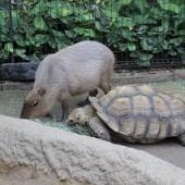 カピパラと亀のコラボ