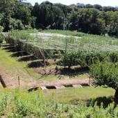 リンゴ畑です