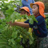 大根も収穫させていただきました。今度の調理保育で食べるのが楽しみです。