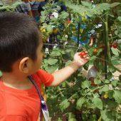 真っ赤なミニトマトを探して収穫しました。(年中組))