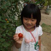 大きくて綺麗なミニトマトが収穫出来ました。(年長組)