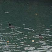 鴨が泳いでいました。