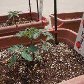 れもん組・・・ミニトマト。これは4月に植えた時の写真です。