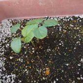 年長組・・・おくら。種からようやく芽を出しました。