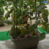 トマトも赤くなって収穫しみんなで食べました。