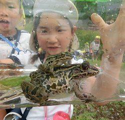 「みて!カエルがおんぶしたよ!」こんな大きなカエルを発見!!先生たちもビックリ!!