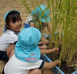 「のびてゆく米」収穫!