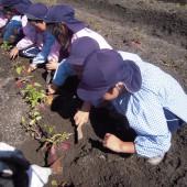 年長組は自分たちで植えた芋苗です