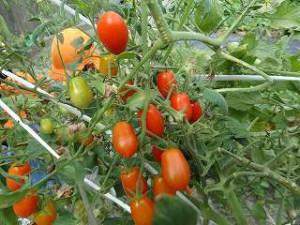 畑で育てたトマト、いっぱい食べたよ!