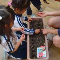 これも【食育】の一環です。お部屋で二十日大根を育てて、収穫したり、絵を描いたり、試食したりして野菜を身近に感じられる工夫をしています。